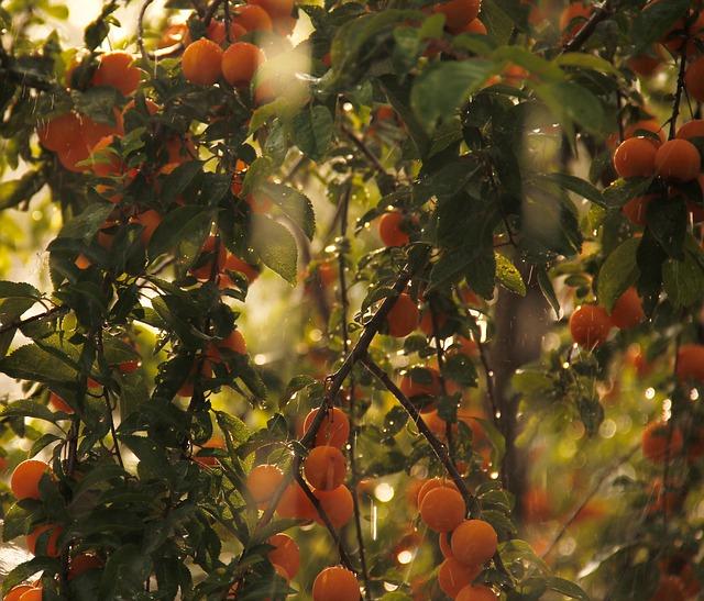 drzewko z mirabelkami