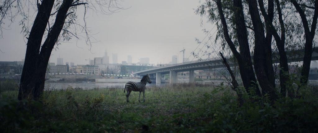 """kadr z filmu """"O zwierzętach i ludziach"""" , przedstawiający zebrę"""